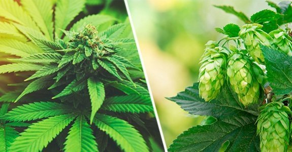 Cannabis Lupulus